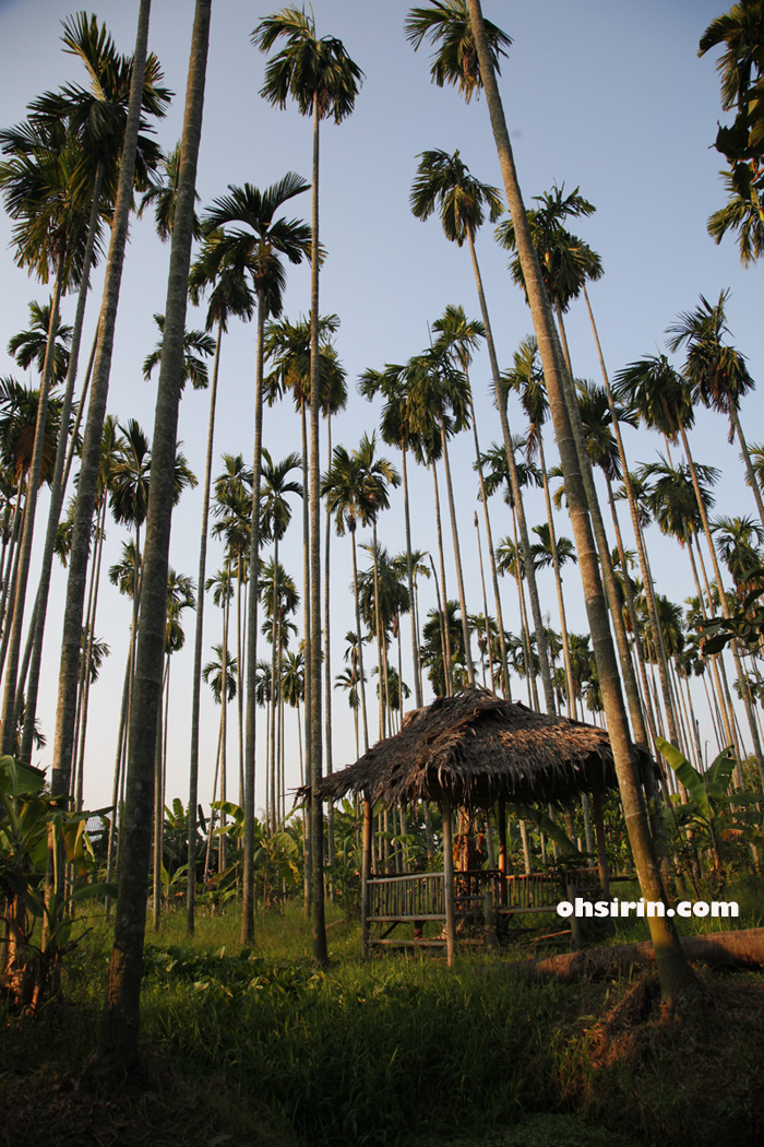 Betel palms shooting into the sky at Sampran Riverside organic farm